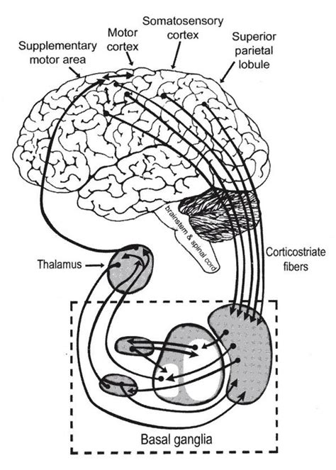 schematic wiring diagram of the basal ganglia 28 images