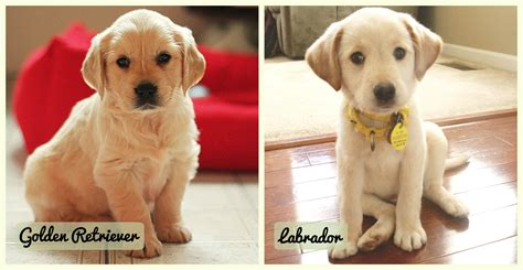 golden retriever compared to labrador golden retriever ou labrador breed comparison labrador retriever vs golden retriever