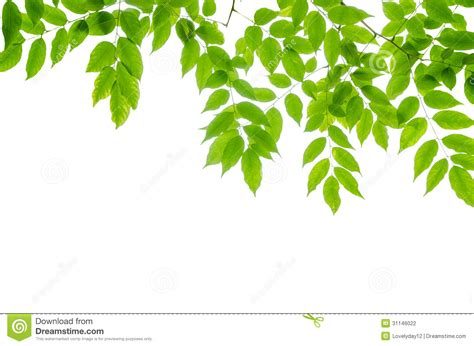 wallpaper green leaves on white background panoramic green leaves on white background stock photo