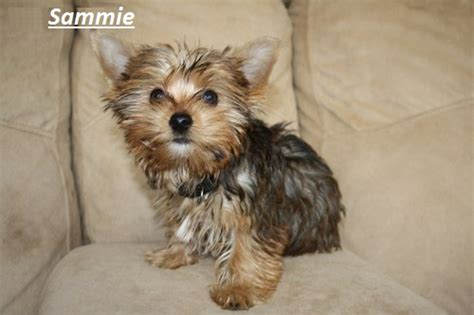 rescue yorkie puppies yorkie terrier adoption breeds picture