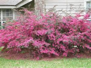 flowering shrubs in florida garden help loropetalum is growing in popularity