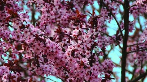 cherry tree journal selecting fruit varieties that will grow in iowa muscatinejournal