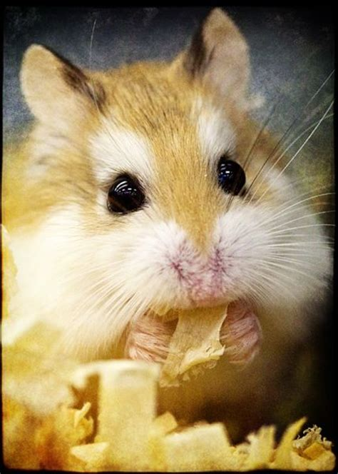how many years does a live how do hamsters live the hamster place