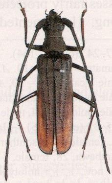 cerambycidae species details