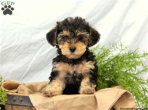 yorkie poo puppies for sale indiana best 10 yorkie poo for sale ideas on terrier for sale teacup