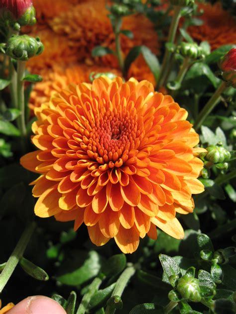 Huntersgardencentre com 187 chrysanthemum orange