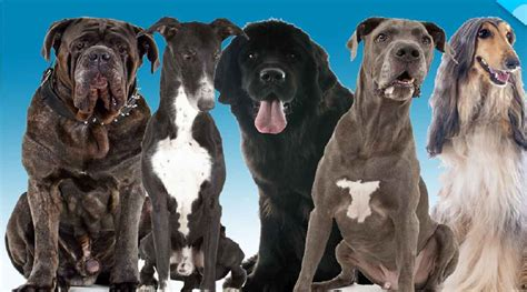 shortest living breed thbb the bully breeds