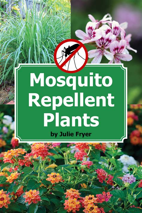 top mosquito repellent plants theindianspot repel mosquitoes naturally with these beautiful plants