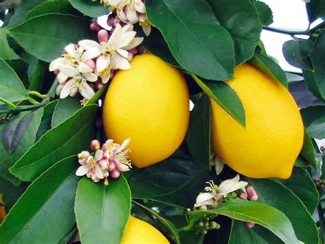 Lemon Tree Gift Card - meyer lemon tree tallahassee tallahassee nurseries
