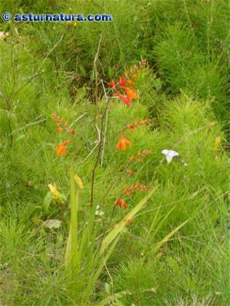 44328 Flowery Green by Crocosmia X Crocosmiflora Navia Plantas Bulbosas