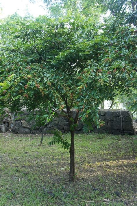 the about trees our philippine trees the miniature bignay