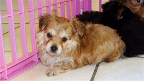 puppies for sale in atlanta gorgeous chorkie puppies for sale in atlanta ga at atlanta columbus johns
