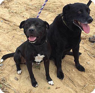 pug adoption massachusetts rob adopted boston ma pug mix