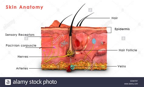 skin labelled diagram skin anatomy labeled stock photo royalty free image