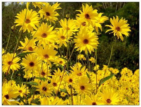 fiori topinambur topinambur coltivazione ortaggi coltivare topinambur