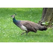 Peahen Flies The Coop At Brookfield Zoo  Blogs News