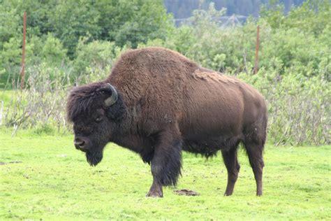 wood bison management plan   wildlife