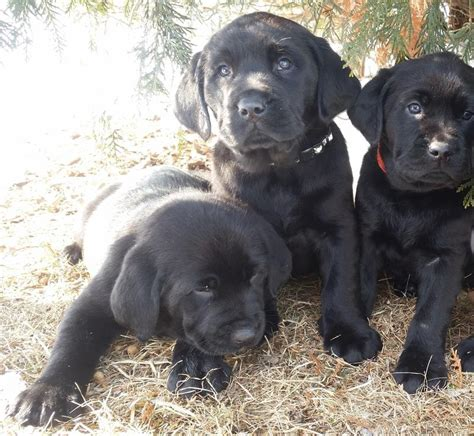 akc labrador puppies akc labrador puppies