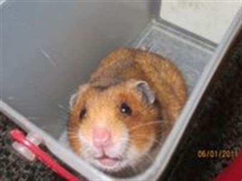 Kia Gerbils 1000 Images About Hamsters On Baby Hamster