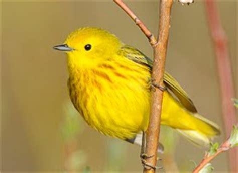 yellow birds birds of colorado