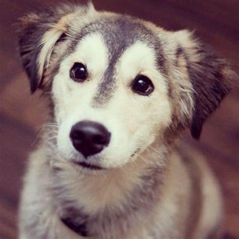 golden retriever x husky puppies 1000 ideas about husky mix on siberian husky puppies german shepherd
