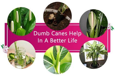 dumb canes       life home