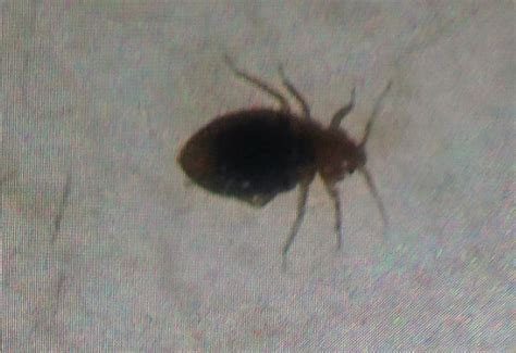 do bed bugs die in water bed bug what s that bug