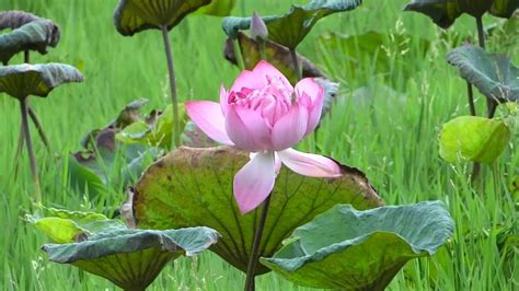lotus flower india nelumbo nucifera indian lotus sacred lotus bean of