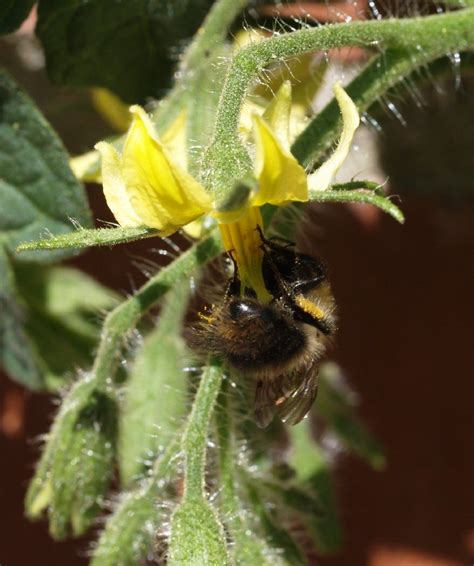 insect pollination  pollinators  important