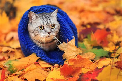 wallpaper chat automne fonds d ecran chat domestique automne feuillage animaux