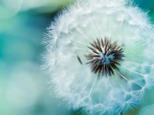 Is dandelion background wallpaper in resolution 1024x768 choose your