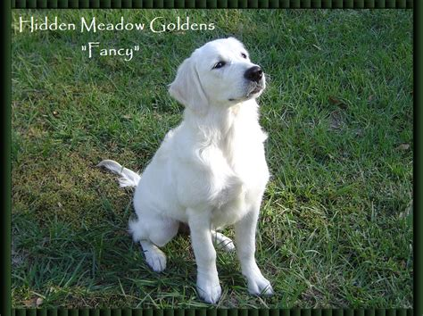 white golden retriever meadow golden retrievers quot fancy quot