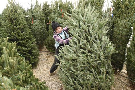 Christmas Tree Giveaway - christmas tree santa fund it clarington