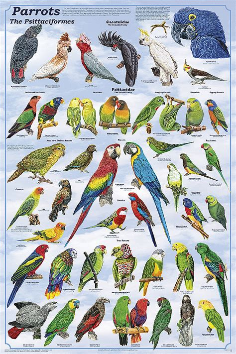 parrots poster from feenixx publishing