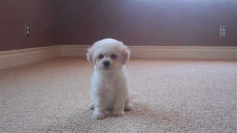 maltipoo puppy cut pin maltipoo haircut pictures on