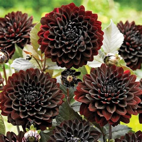 Madu Bihophar Summer Flower black dahlia flower
