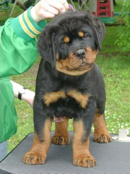 how to house a rottweiler puppy best 25 baby rottweiler ideas on pictures of rottweilers adorable