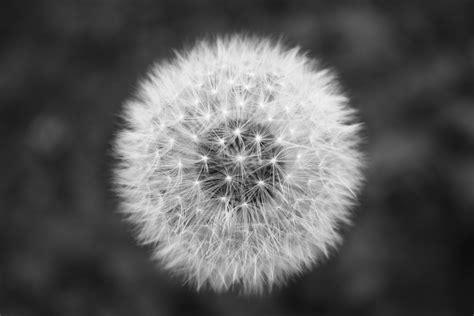 black and white dandelion wallpaper grayscale flower dandelion black and white desktop hd