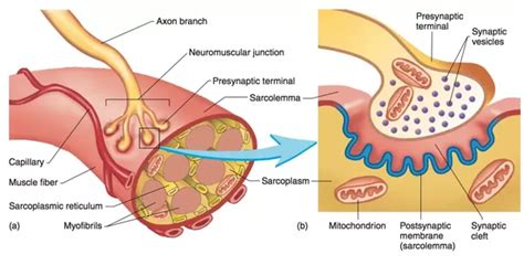 define motor end plate how to properly define neuromuscular junction and motor