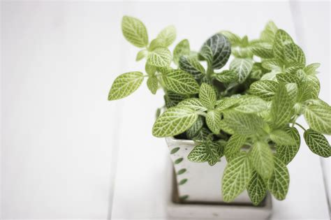 plants for dark bathroom how to grow fittonia houseplants