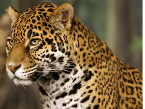 Jaguars In The Jaguar Animal Facts