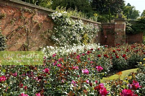 gap gardens walled rose garden  hever castle kent uk