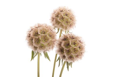 scabiosa pod filler flowers scabiosa fresh flowers