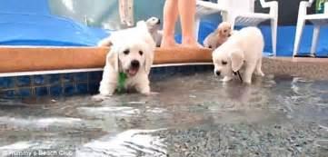 do golden retrievers swim golden retriever puppies go swimming for the time ethiogrio