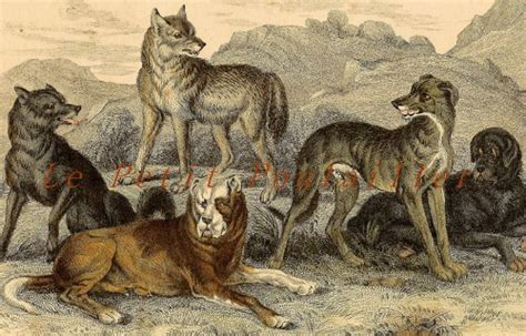 origin of dogs dogs and wolves 1856 oliver goldsmith history engraving petitpoulailler