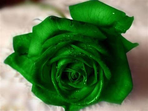 wallpaper green rose green rose wallpapers pictures images