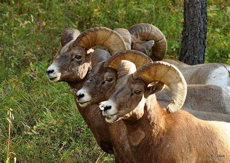 the ram animal three ram animals desicomments
