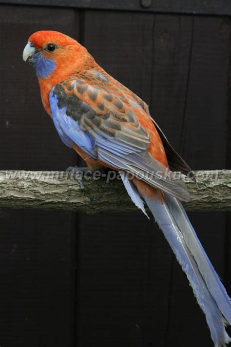 birds for sale san diego male red rump parakeet 1000 images about parrots cockatoos lorys parakeets macaws rosellas conures parrotlets