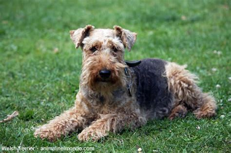 Non Shedding Terriers by Other Small Non Shedding Small Breeds Are Affenpinscher American Breeds Picture
