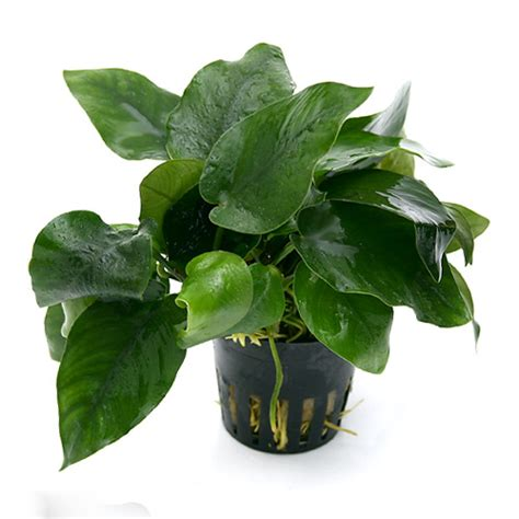 easy plants potted anubias bundle 3 species barteri coffeefolia